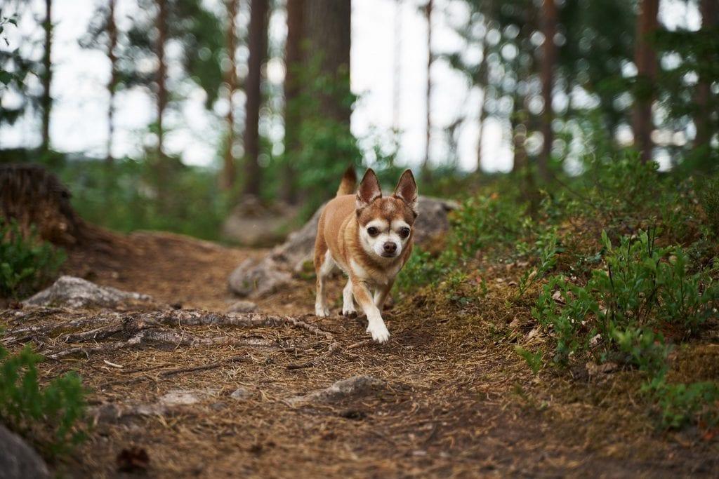 Pieni chihuahua kävelee havumetsässä. Kuva: Ville Kotimäki