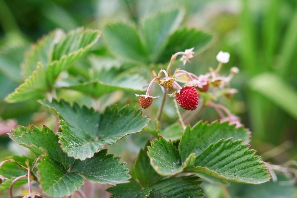 Lähikuva kesän ensimmäisistä mansikoista. Kuva: Ville Kotimäki