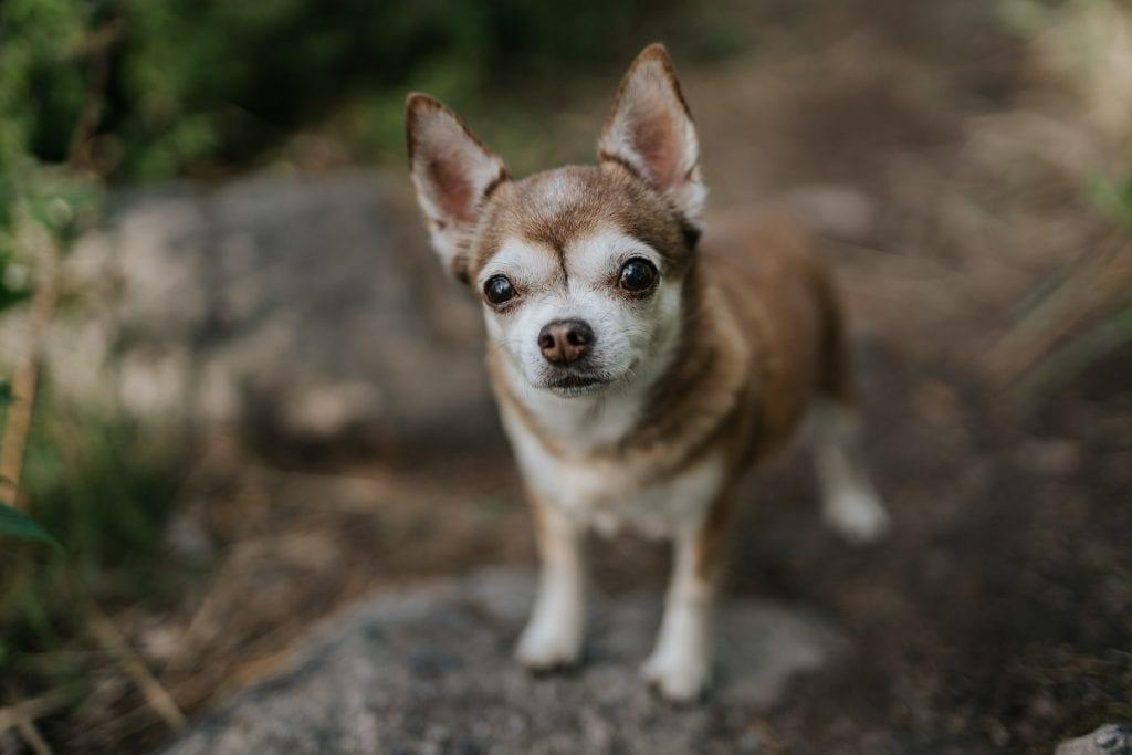 Söpö isosilmäinen pieni koira