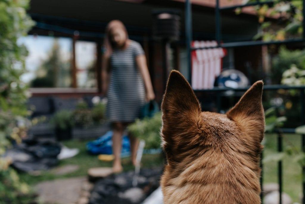 Koira tarkkailee puutarhahommia.