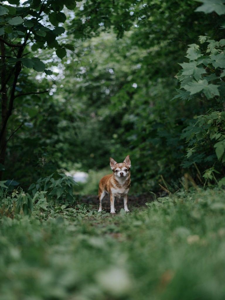 Pieni koira metsäpolulla.