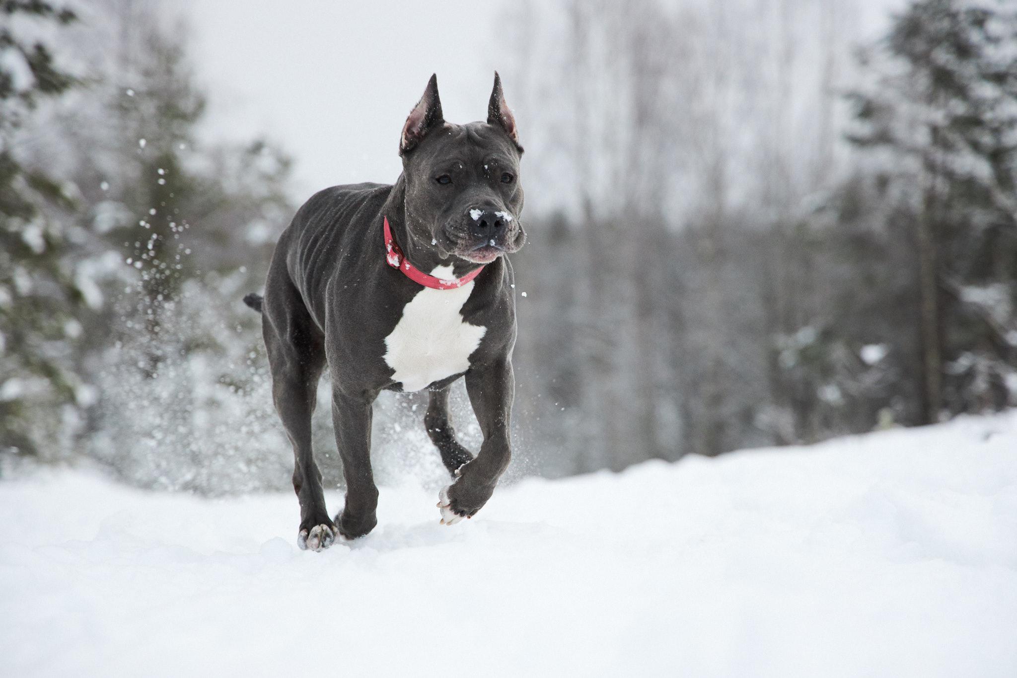 Kuva lumessa juoksevasta koirasta.