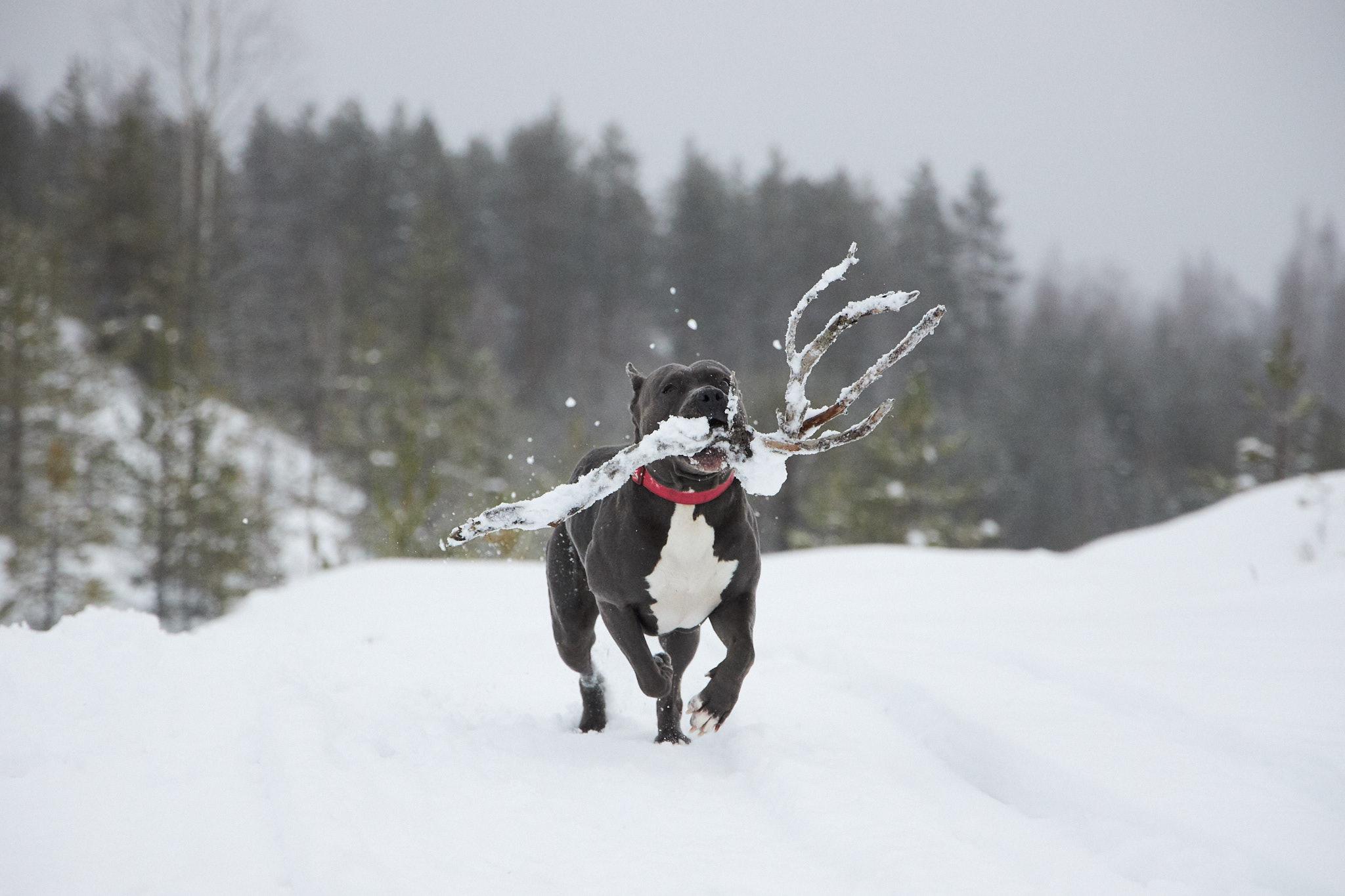 Koira juoksee lumessa iso karahka suussa.