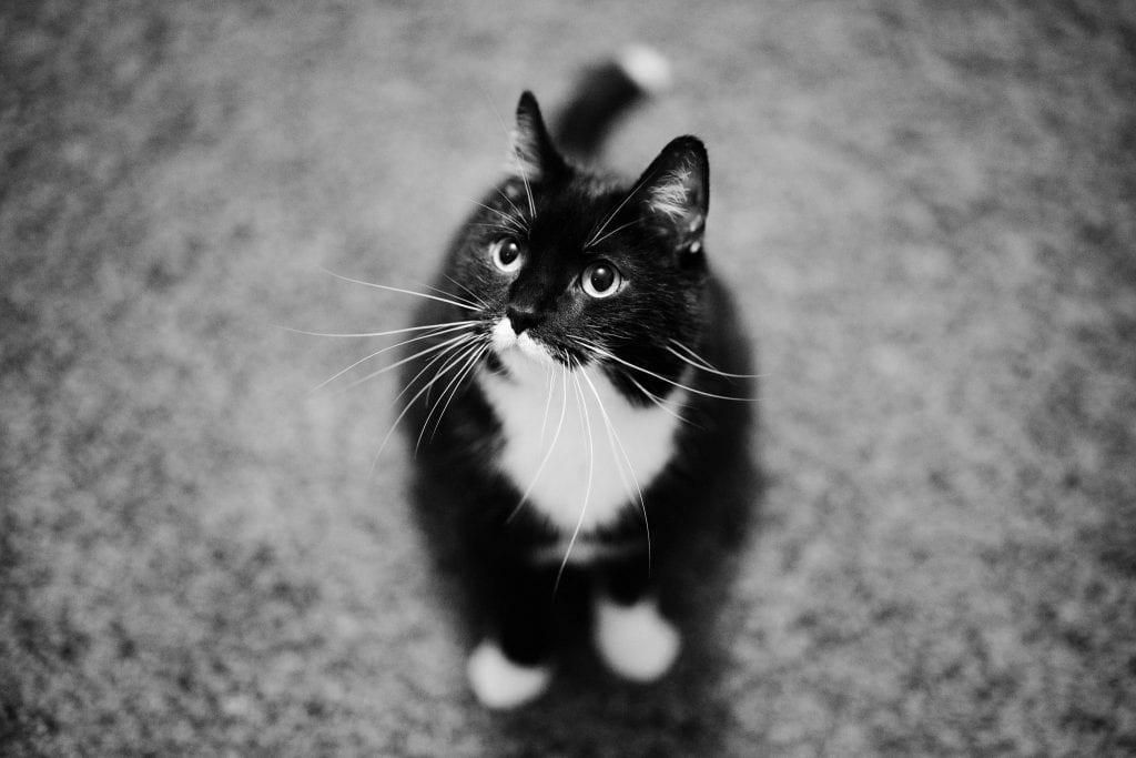 Canon RF 50mm F/1.2 L USM -objektiivilla kuvattu Topi-niminen kissa istuu lattialla mustavalkokuvassa. Vain kissan naama on tarkkana kapean syväterävyysalueen takia.