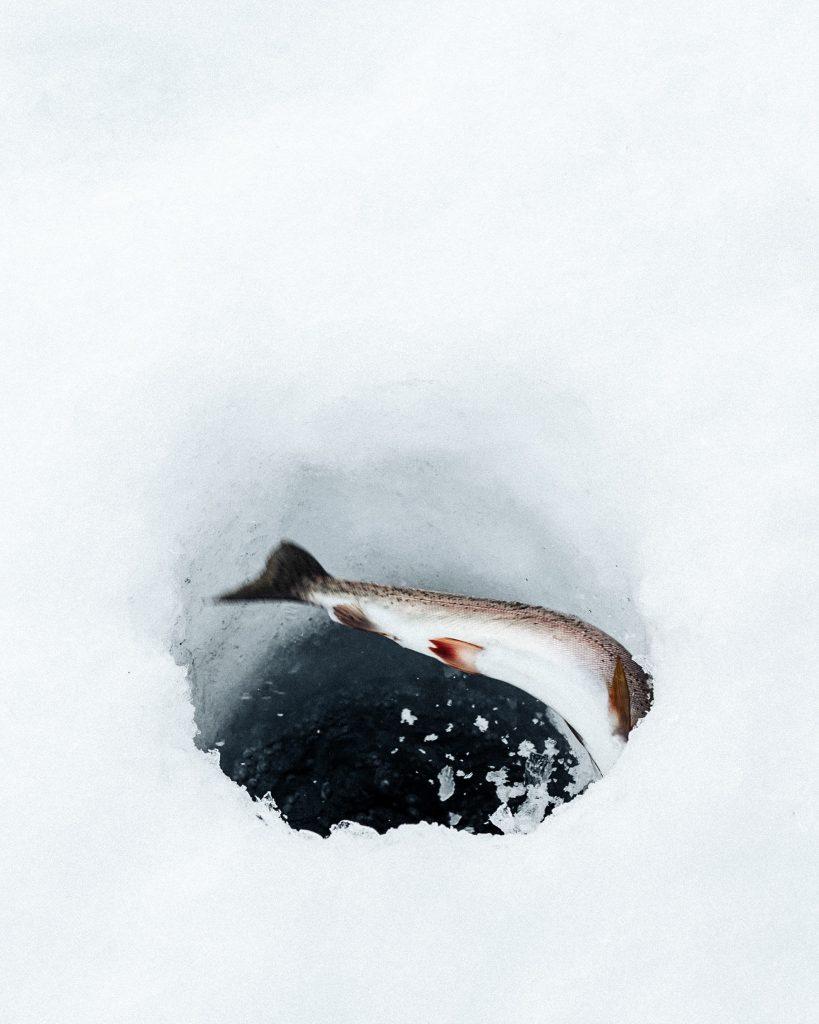 Pilkkireiästä pilkistää kala