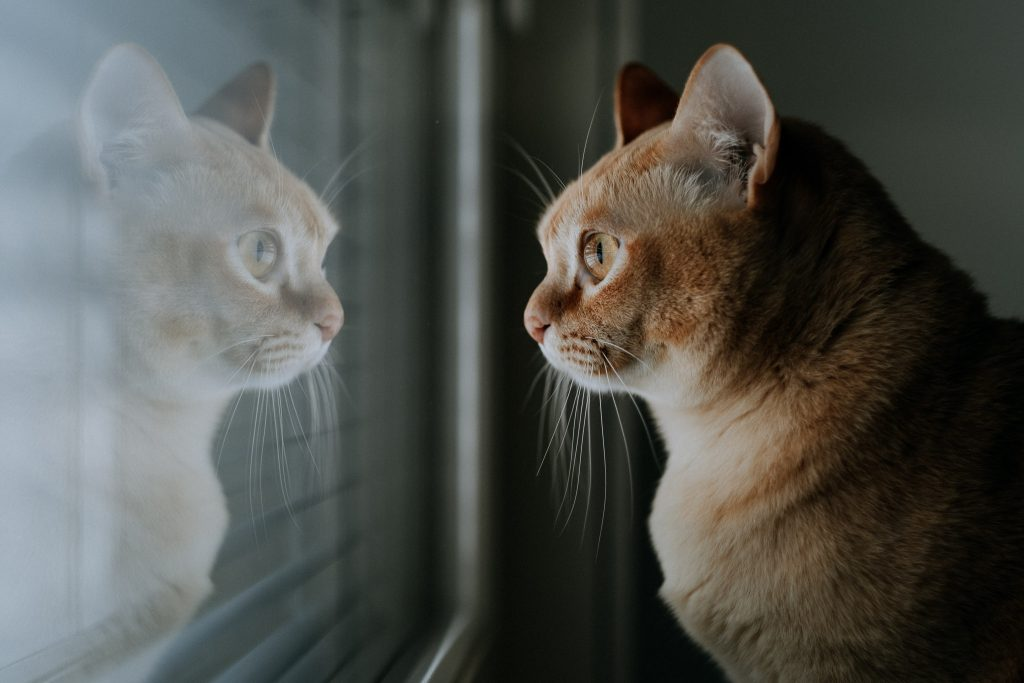 Kissa katsoo ikkunasta, kuva otettu Fuji X-T3 -kameralla.