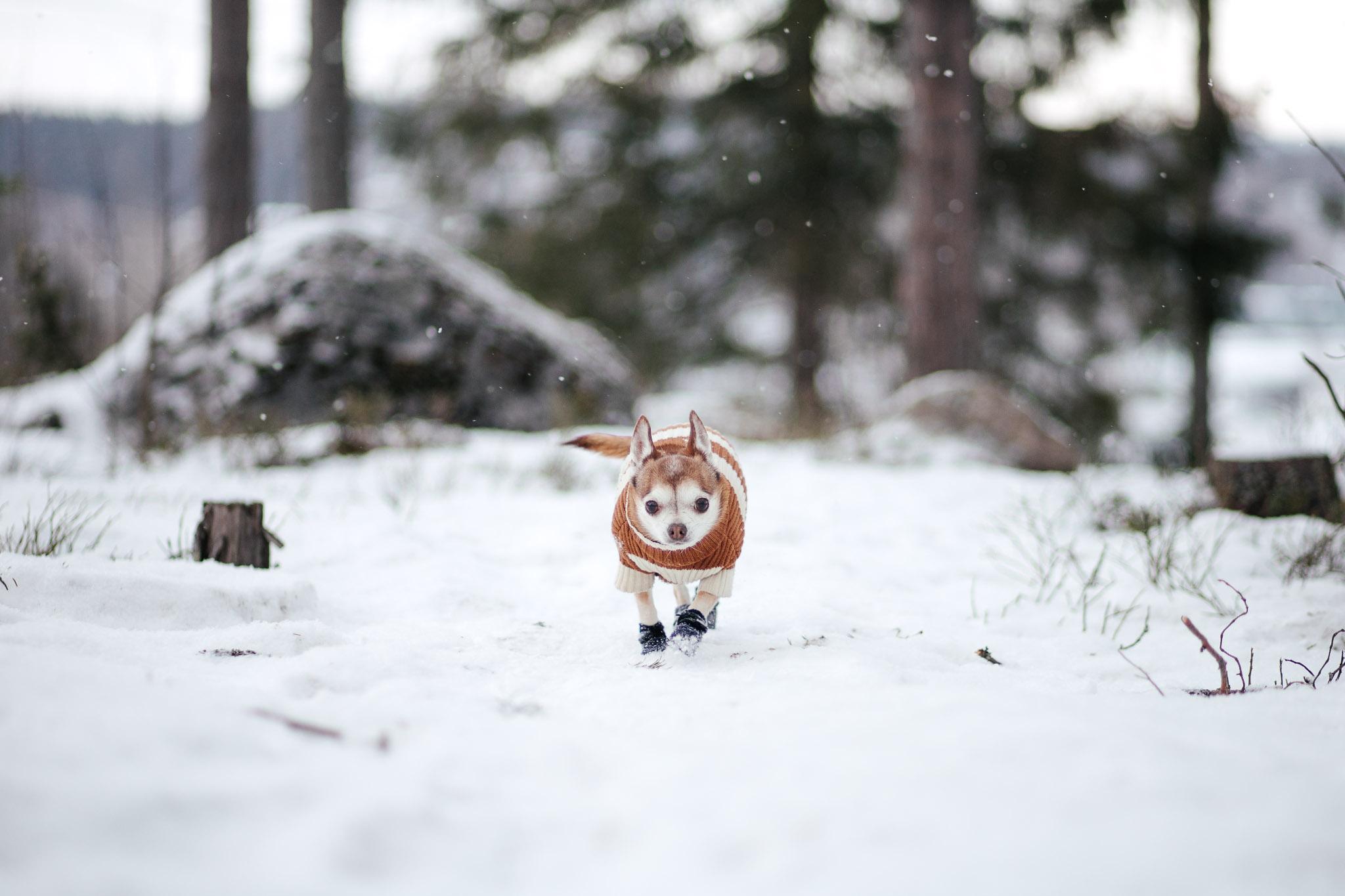 Pieni koira kipittää talvikelissä.